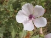 althea-officinalis-flower
