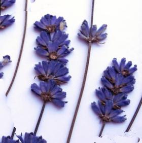 lavender plant benefits