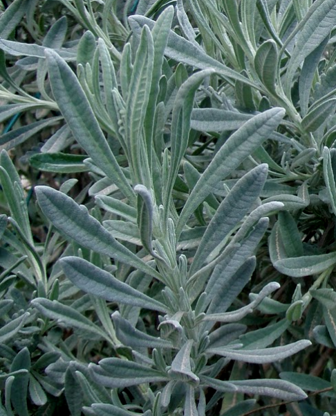 lavender-leaves