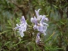 rosmarinus-officinalis-flower